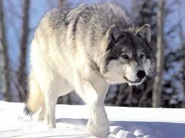 Poд Canis (волки, собаки). Характерные черты диких псовых.