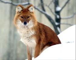 Характерные черты диких псовых.  Обзор.Род Cuon (красные волки