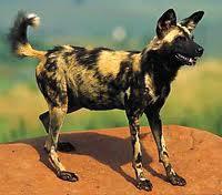 Род Lycaon (гиеновые собаки)