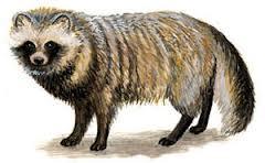 Характерные черты диких псовых. Обзор Род Nyctereutes (енотовидные собаки)