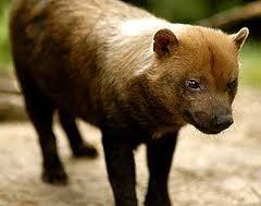 Характерные черты диких псовых.  Род Speothos (кустарниковые собаки)