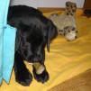 щенок лезет на кровать
