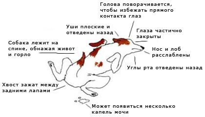 жест подчинения у собак